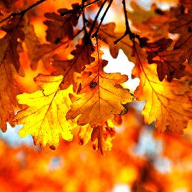 Autumn oak leaves in sunshine