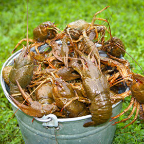 Live freshwater crabs in a large bucket against a background of green grass.