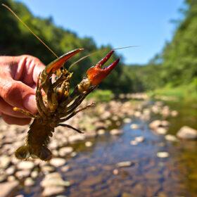 European Noble Crayfish (Astacus astacus) in its Natural Habitat
