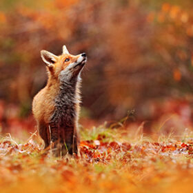 Red fox running on orange autumn leaves. Cute Red Fox, Vulpes vulpes in fall forest. Beautiful animal in the nature habitat. Wildlife scene from the wild nature, France, Europe. Cute animal in habitat