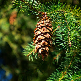 Fir brown cone on a branch with green needles in the forest floor with sun rays
