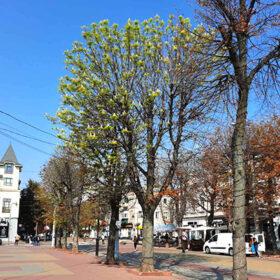У Хмельницькому восени цвітуть каштани