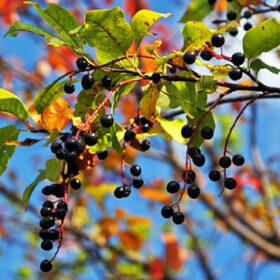 черемуха осень