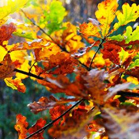 осень листья дуба