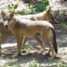 вовки у парку хижаків