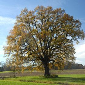 дуб восени
