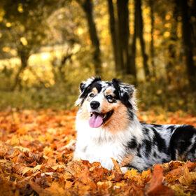 собака і осінь